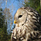 URAL OWL, Photo: Daniel Green