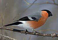 BULLFINCH Photo: Torbjörn Arvidsson