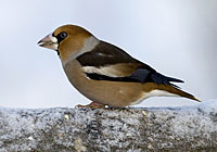 HAWFINCH, Photo: Torbjörn Arvidsson
