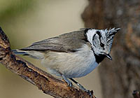 CRESTED TIT, Photo: Stefan Oscarsson